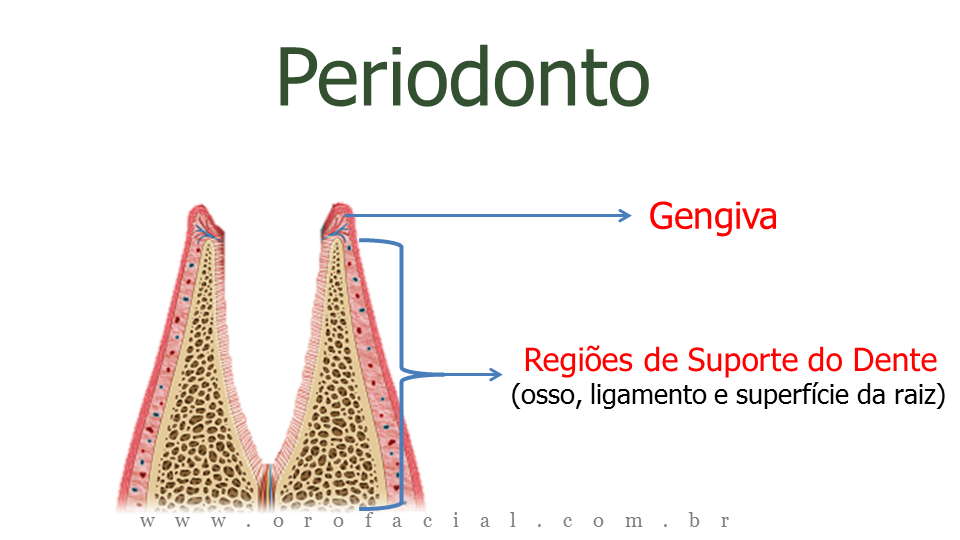 Periodontia Periodonto