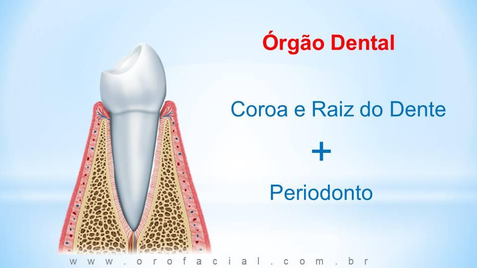 órgão dental, periodonto, gengiva, dente, raiz