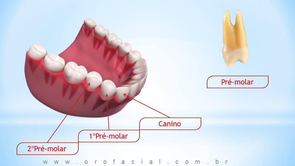 Função dos Dentes Caninos
