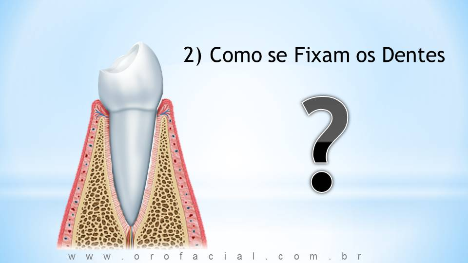 periodonto, gengiva, raiz